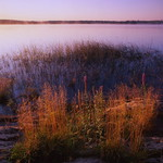 Purple Loosestrife, Merrymeeting Bay, lightjet print, 12 x 12 inches